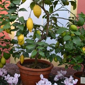 kleiner Zitronenbaum mit Früchten