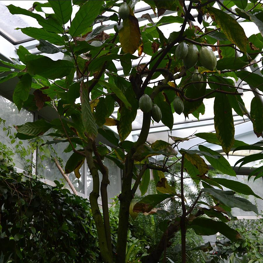 Kakaobaum mit grünen Früchten